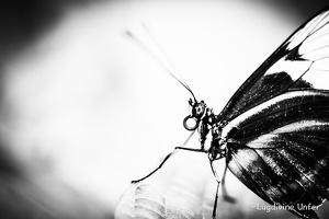 B&W-Papillon-Grevenmacher-23082015-by-Lugdivine-Unfer-5