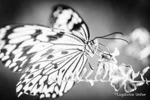 B&W-Papillon-Grevenmacher-23082015-by-Lugdivine-Unfer-20