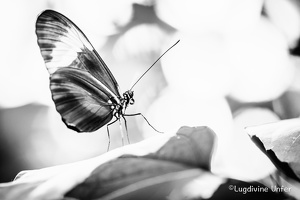 B&W-Papillon-Grevenmacher-23082015-by-Lugdivine-Unfer-25