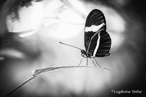 B&W-Papillon-Grevenmacher-23082015-by-Lugdivine-Unfer-36